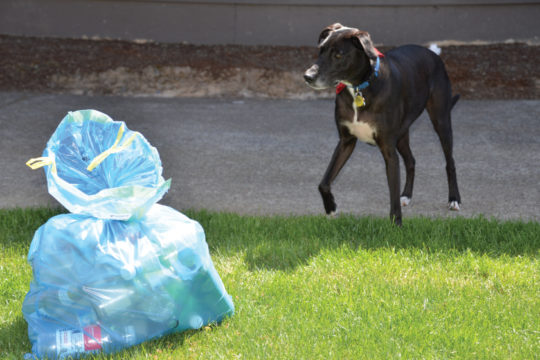 Doggie walking up to a Blue Bag in the Grass